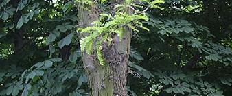 Stamm der Gleditschie mit den namengebenden Dornen und den charakteristischen gefiederten Blättern